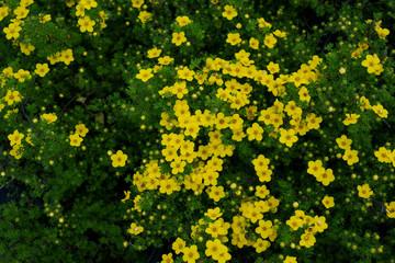 Blooming Potentilla fruticosa Kobold
