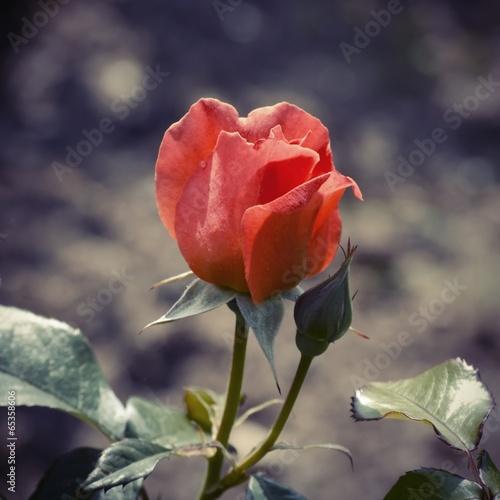 kwiat-rozy