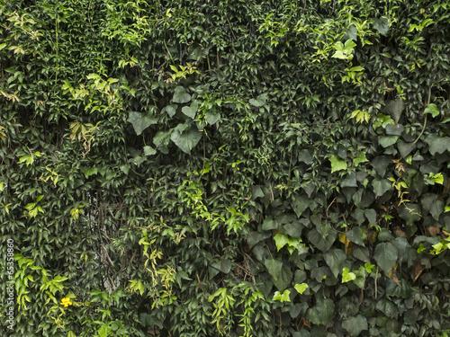 Textura de trepadoras. Hiedra, ficus, enamorada del muro - 65358860