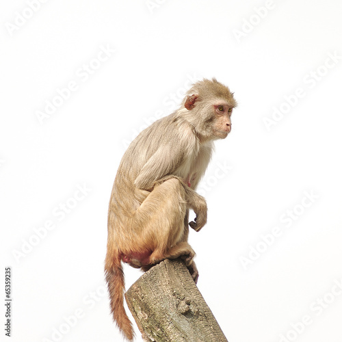Foto op Canvas Aap Rhesus macaque in close-up during natural behavior, isolated