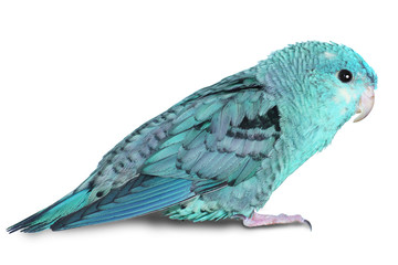 Blue lineolated parakeet