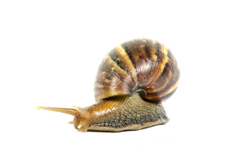 Garden snail on white background with clipping path