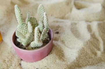 Cactus in pot.Gymnocalycium mihanovichii