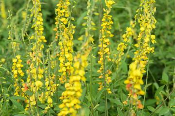 fabaceae flower