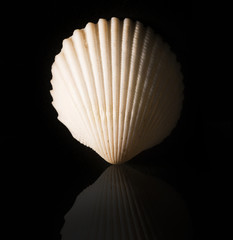 white clam  shell isolated on black background with reflection