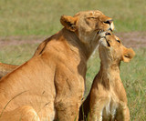 Mother Lion and Cub