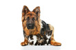 German shepherd dog with three little kittens