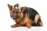 German shepherd dog with little kitten on its head - 65364894
