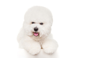 Bichon dog on a white background