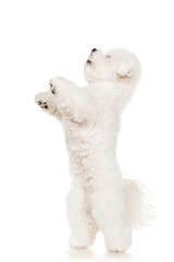 Bichon dog jumping at white background
