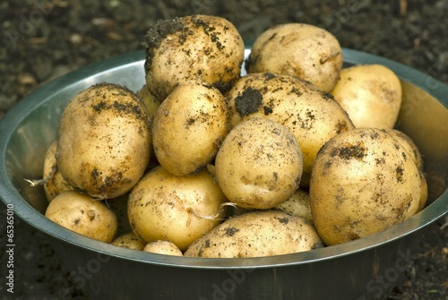 Bowl with new potatoes in vegetable garden.
