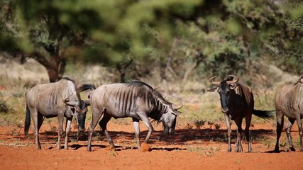 Blue wildebeest irritated by biting flies, South Africa