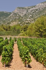 Vineyard in Bol town on island Brac. Croatia
