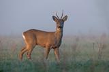 Roe deer in morning fog