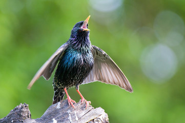 Common starling singing