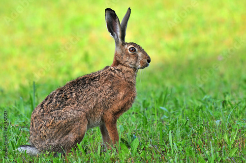 Brown hare - 65367813