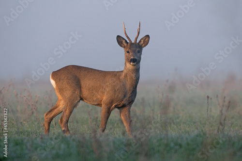 Fotobehang Ree Roe deer in morning fog