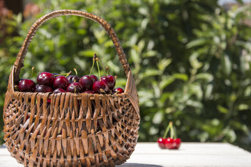 A hamper of red cherries in the garden