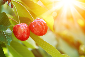 ripe cherry on a green branch in sunlight