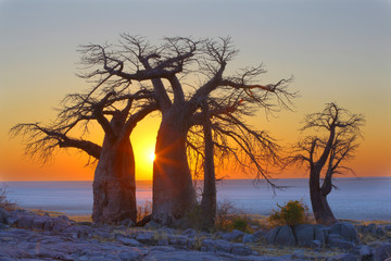 Baobabs at sunrise in Kubu Island