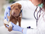 Shar Pei dog getting bandage after injury on his leg by a veter