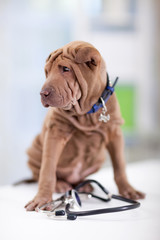 portrait of young  Shar Pei with a stethoscope