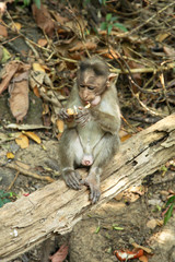 Monkey in Goa. India