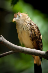Guira Cuckoo (guira guira) at rest on a branch