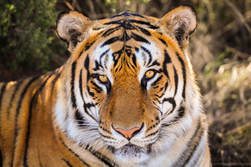 Closeup Portrait of a tiger