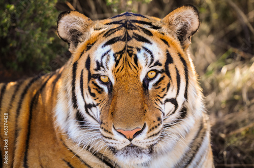 Poster Closeup Portrait of a tiger