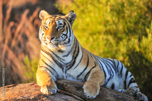 Poster Portrait of a Tiger