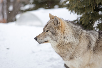 Grey Wolf (Canis lupus) Stands Towards Left