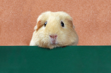 funny portrait of guinea pig