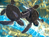 two baby sea turtles swimming in water