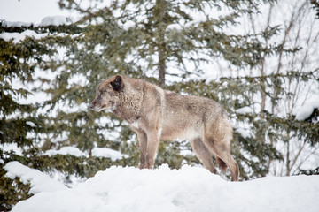 Grey Wolf (Canis lupus) standing on snow