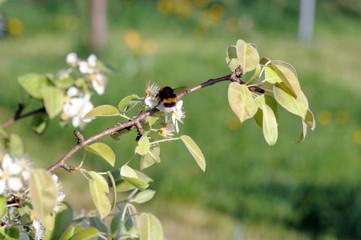 Birnenblüte mit gemeinem Rosenkäfer