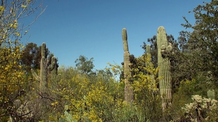 Giant Saguaro ( Carnegiea gigantea) at Papago park. Arizona