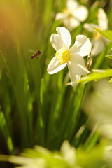 Blooming narcissus