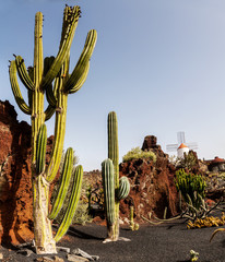 Cactus on Lanzarote, Canary islands, Spain