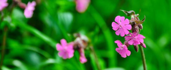 Fleurs des champs mauves en gros plan