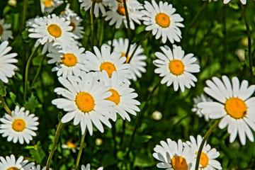 Blumenwiese mit Margeriten
