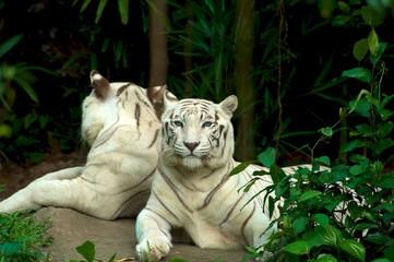 Mirrored tiger