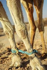 Pattes de chameau (dromadaire) entravées