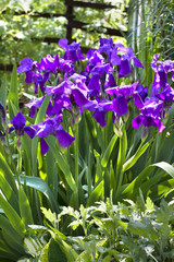 Violet iris flowers on flowerbed