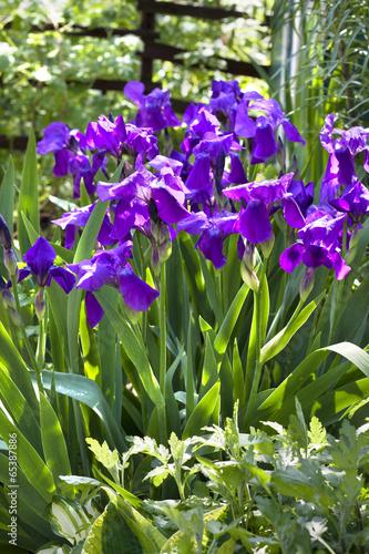 Foto op Aluminium Iris Violet iris flowers on flowerbed
