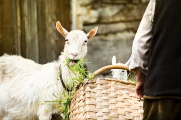 Goat on farm