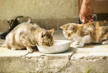 Cute cats drinking milk