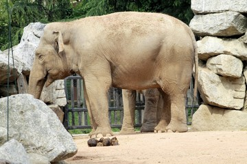 Indian elephant in the zoo