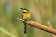 A Little-Bee Eater (Merops pusillus) perched on a cattail