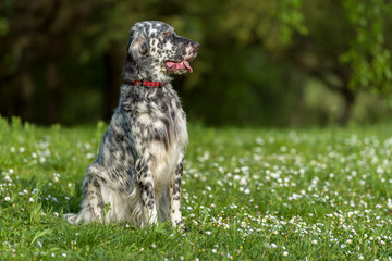 Cute blue belton English Setter dog is sitting in a spring meado